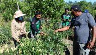 Permalink to Sekda Sintang Lakukan Panen Cabe dan Jeruk di Desa Baning Panjang